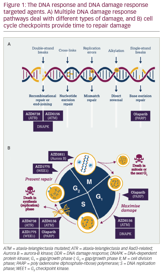 Dna Damage Response An Emerging Target For Groundbreaking Cancer Therapies Touchoncology