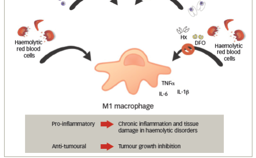 Shaping Macrophage Plasticity with Iron – Towards a New Therapeutic Approach